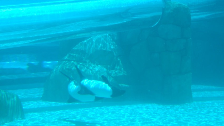 Commersons-Dolphins-2