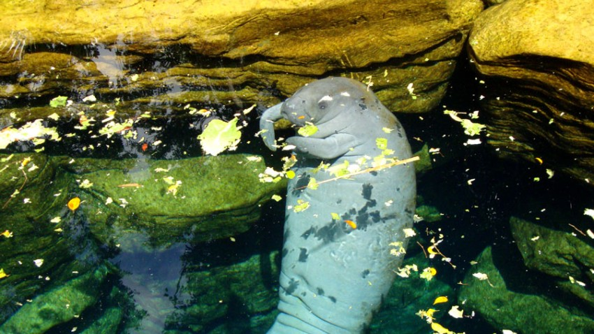 Sea-World-Manatee